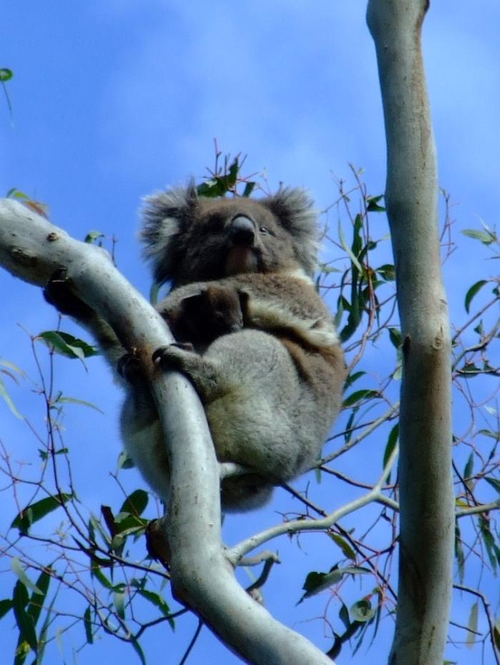 mama and baby koala 04