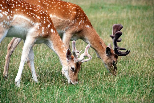 the queen's deer in richmond park, london