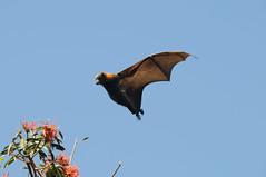 Flying Flying Fox (Kim CW Hanson) Tags: fauna wings nikon native wildlife sydney australia mammals flyingfox animalplanet botanicgardens wildlifeofaustralia flyingmammals d300s nikond300s