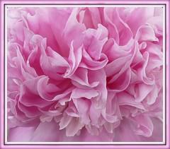 Nothing but Pink! (Bluebird0927 (ON/OFF)) Tags: pink flowers friends nature october breastcancerawareness artistspotlight thesuperbmasterpiece theperfectpinkdiamond saariysqualitypictures mamasbloomers naturescarousel newgoldsealofquality