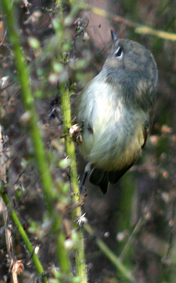 chubby birdie