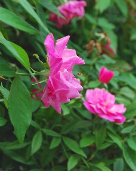 Rose-Bug