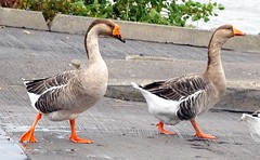 Greylag Geese walking down a boat dock (blmiers2) Tags: orange newyork bird feet nature beautiful birds geotagged geese nikon wildlife beak aves goose faves webster gooses anser waterbirds anseranser wildgoose greylag greylaggoose anatidae anseriformes graylag greylaggeese graylaggoose thegeese goosegeese geesegoose greylags geesepictures goosegander blm18 blmiers2