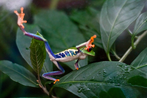 Red Eyed Leaf Frog