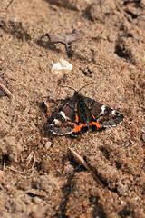 Harilik kevadvaksik; Archiearis parthenias; Orange Underwing (urmas ojango) Tags: lepidoptera liblikalised insecta insects putukad moth vaksiklased nationalmothweek geometridae harilikkevadvaksik archiearisparthenias orangeunderwing