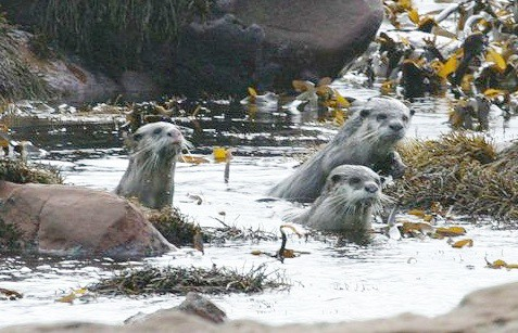capeclawlessotters