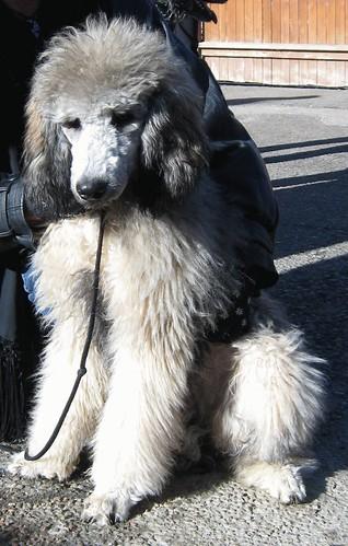 A sable standard poodle   Sable Standard Poodle