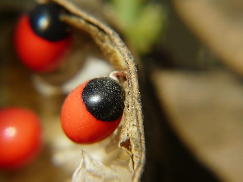 Rosary Pea seed