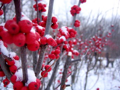 Berries (alberto238) Tags: winter lakeside snowtrails