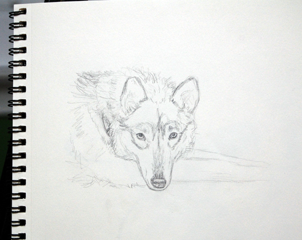 wolf sketch, Kathleen Coy