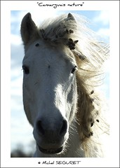 Camarguais nature (Michel Seguret) Tags: fab horse france verde green nature animal animals fun caballo cheval tiere nikon postcard vert paca enjoy sensational provence grn fabulous iq 13 animaux atm pferde cavallo soe animale naturesbest tier camargue smrgsbord enjoylife potofgold cartepostale wonderfulnature bouchesdurhone objektif excelent nikond200 inspiredbylove thinkgreen flickrsbest kartpostal parcnaturel amazingcapture bestmoment diamondheart flickrdiamond ysplix camarguais diamondstars thisphotorocks thebestmoment flickrestrellas arealgem checkoutmynewpics rubyphotographer naturespotofgold worldnaturewildlifecloseup photographersgonewild nikonflickraward nikonflickraward flickrverte naturallymagnificent frommylens momentdimagination flickrpopularphotographer croquenature excelenceofphotographer excelenceofphotographeraward flickraward flickrsbestseriousphotographers michelseguret