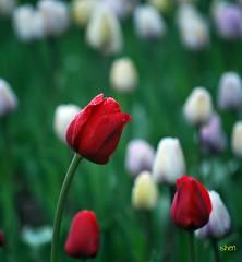 HBW to all !! (bench_30) Tags: red flower nature nikon tulips d60 naturesfinest blueribbonwinner bokehlicious vosplusbellesphotos