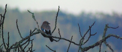jay in fig tree