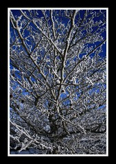 Frosty trees (Carolyn Currier) Tags: blue winter snow cold tree landscape web gmt