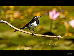 White Wagtail (saternal) Tags: bird wagtail whitewagtail aplusphoto saternal