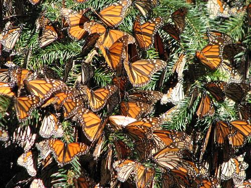Butterflies by Aviruthia.