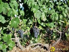 Viña uva negra Icod