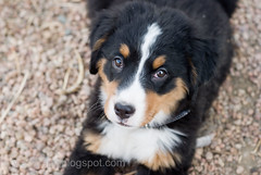 New Puppy, Bernese Mountain Dog