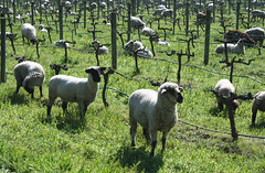 Sheep in the Vineyard (Eimaje) Tags: california grass animal animals photography vineyard sheep wooly bah mowers