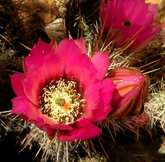 Beauty Among the Spines (ScenicSW) Tags: arizona southwest cacti colorful desert tucson hedgehog 1001nights sonorandesert excellence desertflora desertflower tucsonarizona cactusflower cactusbloom otw flowerotica desertblooms platinumphoto aplusphoto desertbeauty astoundingimage ahqmacro thepoweroftheflower thechallengefactory awesomeblossoms 100commentgroup colorsinourworld scenicsw virtualjourney expressyourselfaward adrinnesmagicaltour mygearandmepremium mygearandmebronze mygearandmesilver rainbowelite