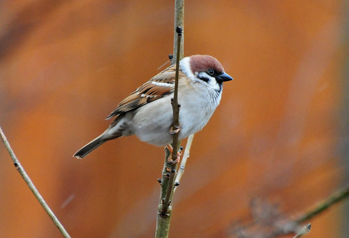Tree Sparrow, Passer montanus, in the Rain at The Butterfly House, Sheffield