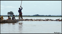22-Pastoreando en el Río Níger. (Ambrispuri) Tags: africa blue water azul agua cows mali vacas tradicion shepherds pastores tradiction ríoníger ambrispuri