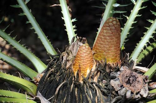 encephalartos pterogonus