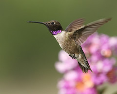 Sweet Myrtle (HowardCheekPhotography.com) Tags: flowers summer black tree male nature birds fly flying inflight texas action wildlife blossoms flight myrtle hummingbirds archilochus alexandri chinned photocontesttnc12