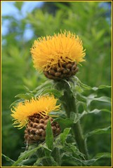 Armenian Basket Flower (arrowlakelass) Tags: flower yellow garden asteraceae perennial basketflower centaureamacrocephala armenianbasketflower