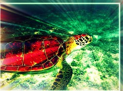 Nowhere to go - edit (joehall45) Tags: ocean sea vacation holiday nature beautiful beauty mexico turtle wildlife homeless apocalypse frame april jpg reef seaturtle 2009 sandbox picnik starburst nosha yuccatan april2009 apocalypsefirday