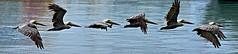 Pelican Fly #1 (leifbaker) Tags: panorama flight pelican virgingorda birdinflight photographyrocks ithinkthisisartaward 10framespersecond