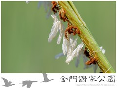 互花米草花序