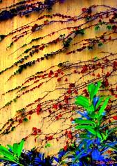 Fall Wall (Irina Kiseleva) Tags: blue red plants black green fall nature colors beautiful yellow wall repetition 1001nights excapture naturalpicture mbpictures adrinnesmagicalmoments creativeoutbursts 1001nightsmagiccity mygearandme mygearandmepremium mygearandmebronze