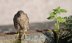 Sparrowhawk (Flxzr) Tags: birds scotland dumbarton sparrowhawk