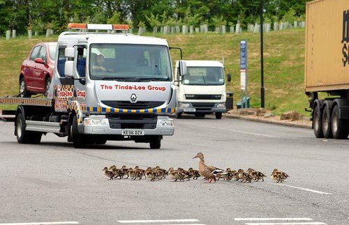 ducks-crossing_1464066i