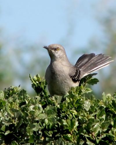 Mockingbird on a hedge