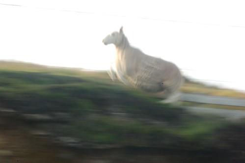 rennend schaap