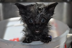 """But I Don't Want a Bath.."" (CaptPiper) Tags: wet cat bath kitten funny pathetic cinder"