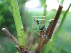 praying mantis (ღ kimberlyann207 ღ) Tags: macro green nature grass canon bug mantis insect praying powershot series grasshopper hopper g7 071809 bokehhearts♥♥