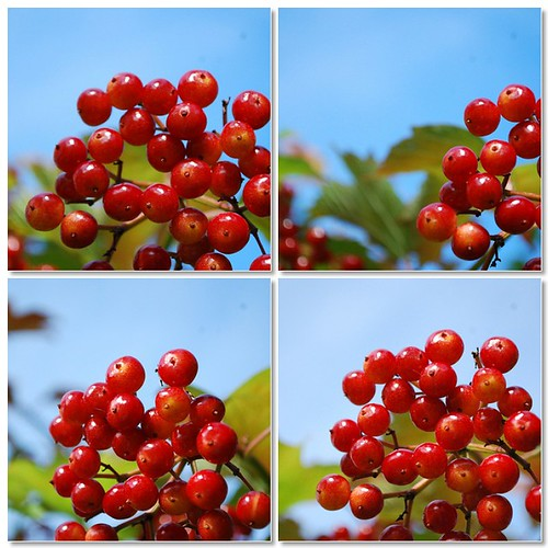 Fall red berries