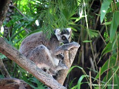 IMG_1364-WDW-DAK-ring-tailed-lemur