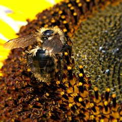 busy as a ... (edgworthric) Tags: macro yellow canon powershot bee sunflower pollen g9 sunshinesundays