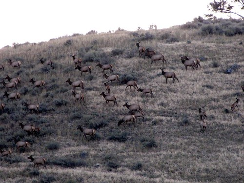 Early morning elk-1