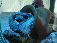 Algo se esconde en el nfora (JaulaDeArdilla) Tags: espaa aquarium spain espanha acquarium pop galicia galiza octopus tentacle espagne 2009 spanien spagna spanje pulpo cephalopod spania acuarium  espanya  hiszpania cefalpodo polbo cephalopoda tentculo tybannha cefalpode