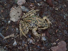 Frog on the trail.