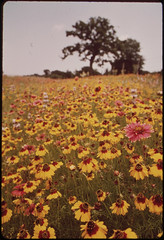 Flower meadow in Llano, Texas