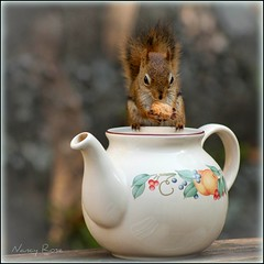 I couldn't resist (Nancy Rose) Tags: cute animal squirrel funny bokeh wildlife peanut teapot hungry nut impressedbeauty