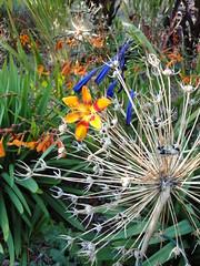 Allium Crocosmia Agapanthus