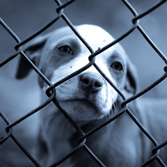 Fighter (Kirk Smith.) Tags: blue light portrait dog canon fence de natural smith pitbull blinds delaware newark hip hop tamron kirk 30d mcgirt luxtop100