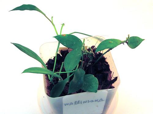 Hoya walliniana